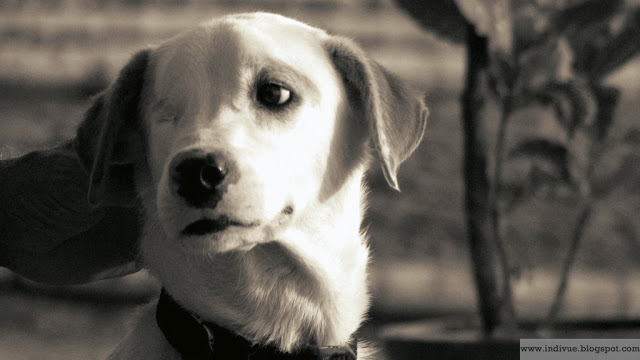 Straydog in Goa, India / Kulkukoira Goassa, Intiassa