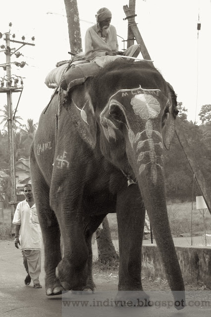 Indian elephant named Laxmi