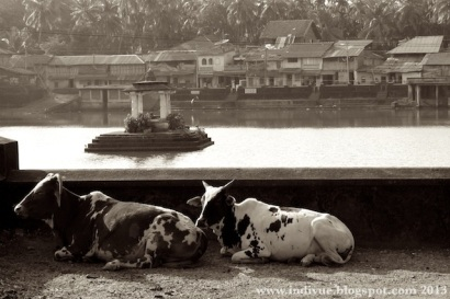 Cows resting on the street of Gokarn