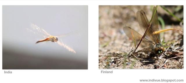 Suomalainen sudenkorento ja intialainen sudenkorento - Finnish dragonfly and Indian dragonfly