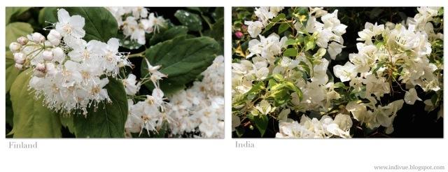 Indian and Finnish flowers in white - Valkoisia suomalaisia ja intialaisia kukkia