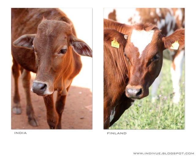 Lehmä Intiassa ja lehmä Suomessa - a Cow in India and a cow in Finland