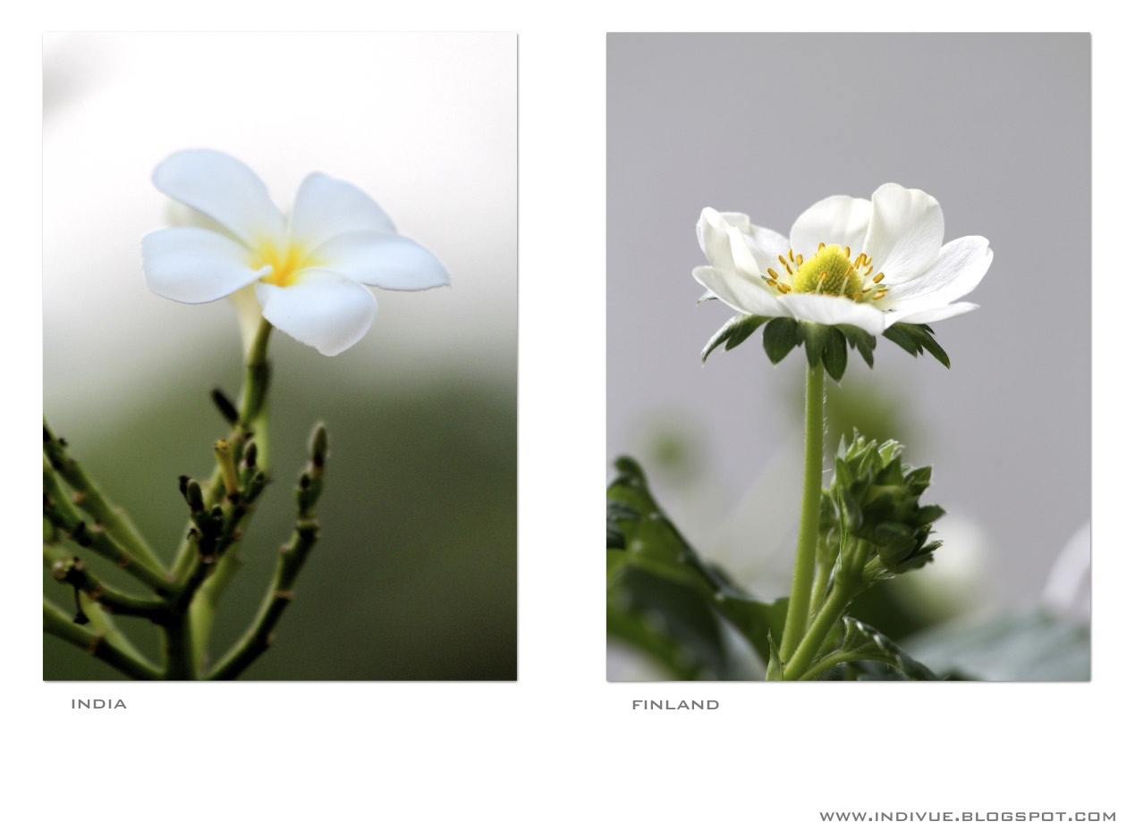 White flowers in India and in Finland