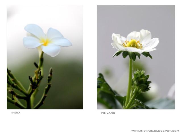 White flowers blossoming in East and West - Valkoisia kukintoja idässä ja lännessä