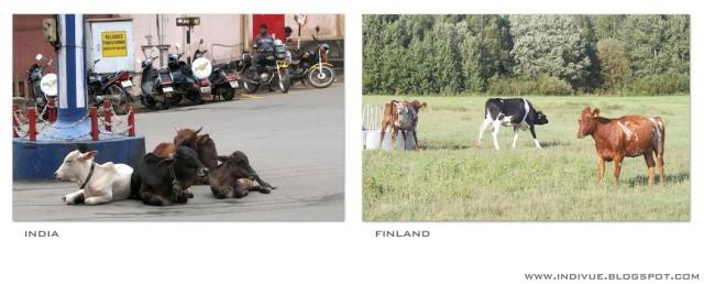 Lehmät, Suomi ja Intia - Cows, Finland and India