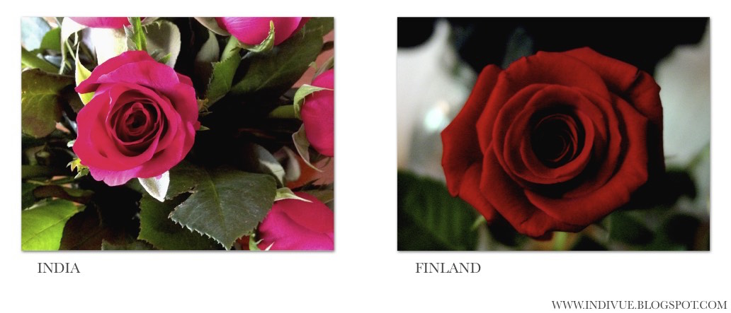 Indian and Finnish roses