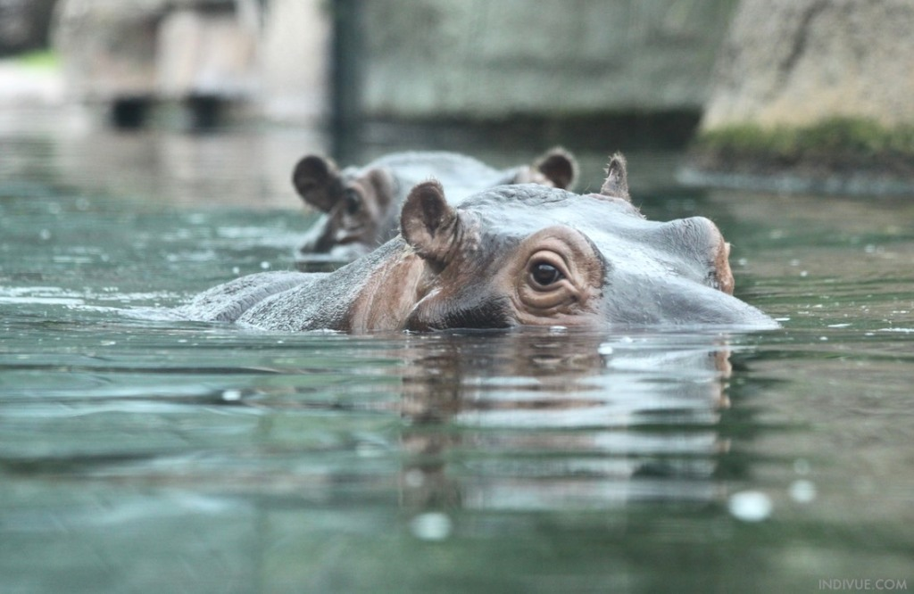 Hippopotamuses in Berlin Zoo