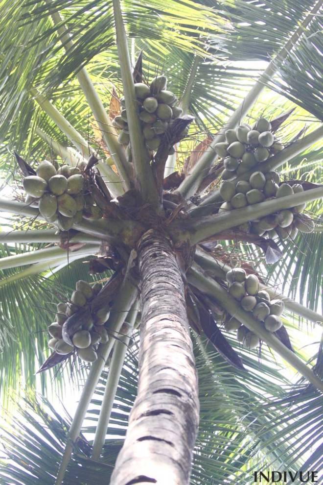 Under coconut palm tree in Goa
