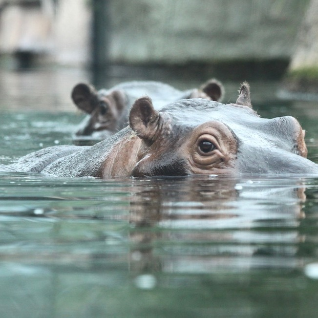 Hippopotamus in the Berlin Zoo
