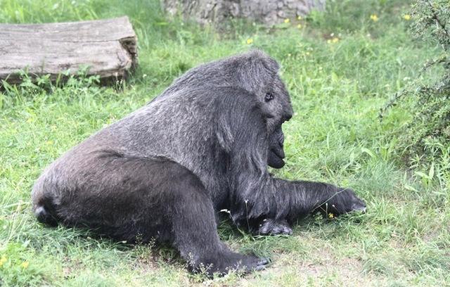 Gorilla in the Berlin Zoo