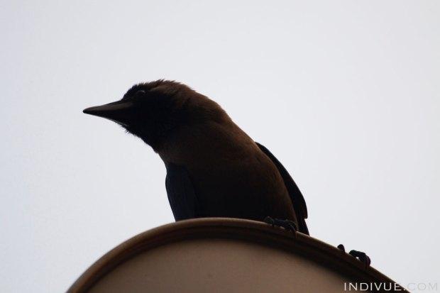 Indian crow pose