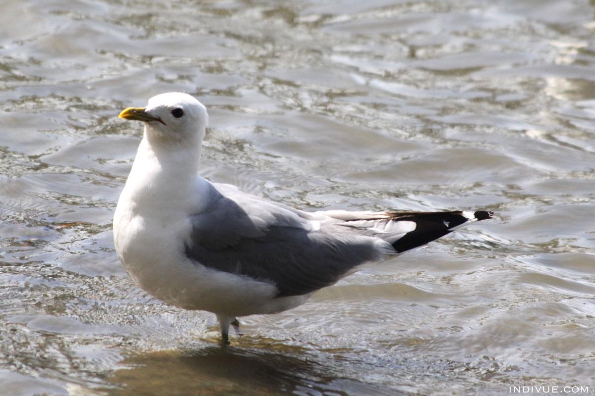 Seagull in Seurasaari, Helsinki, Finland
