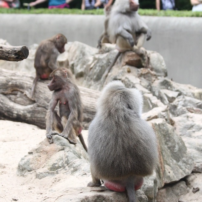 Baboons in the Berlin Zoo