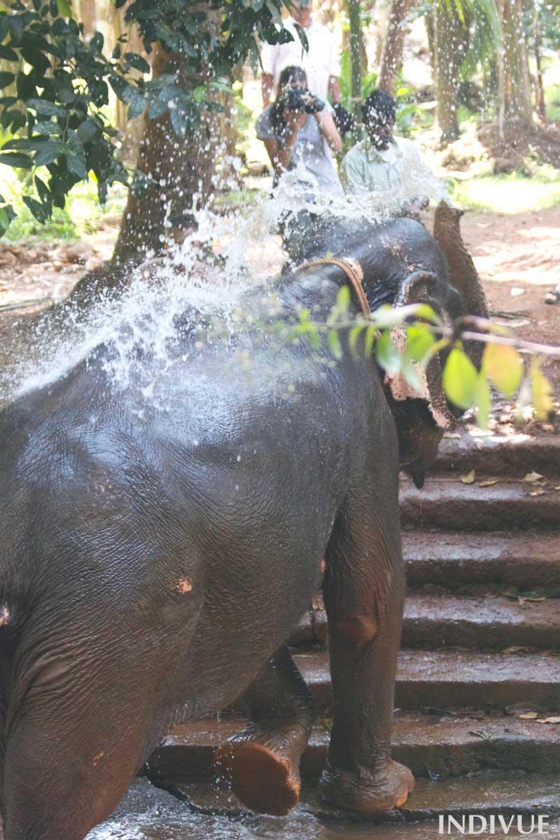 Elephant_shower_in_Sahakari_Spice_Farm_in_Goa_India