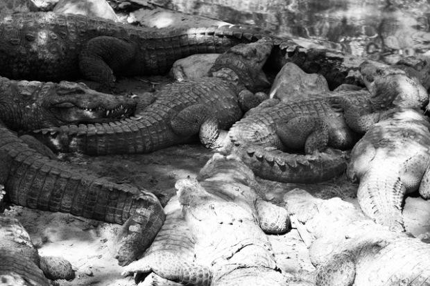 Crocodile cluster