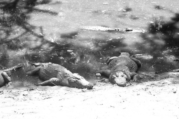 Crocodiles in a park in East India