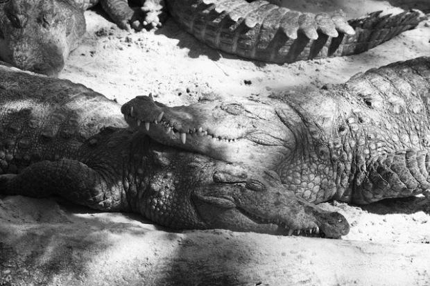 Happy crocodiles in East India