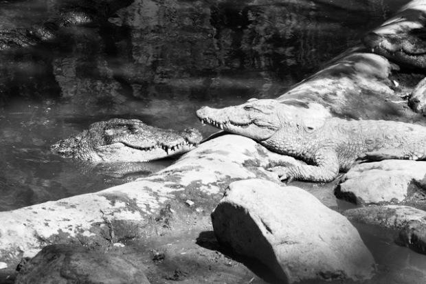 Happy crocodiles