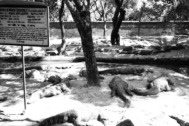 Inhabitants of a crocodile park in East India