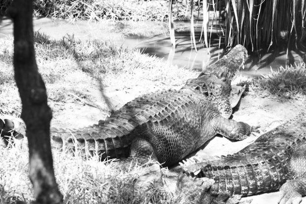 Roaring crocodile