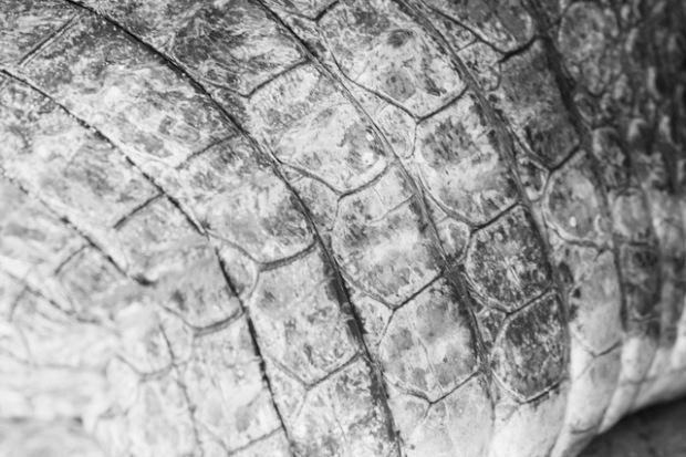Skin of a living crocodile