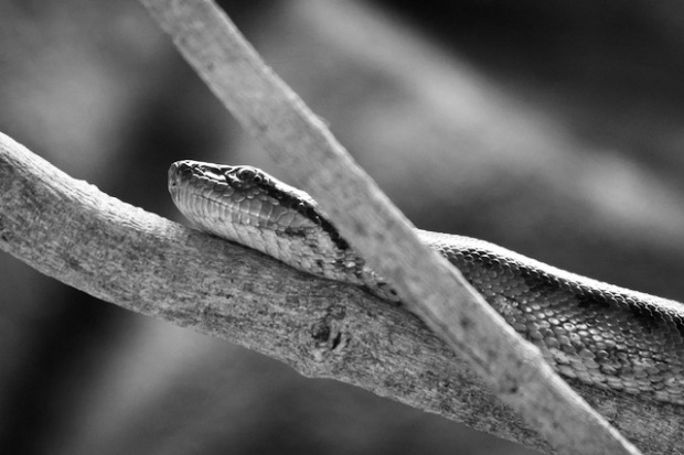 Snake in a crocodile park in India