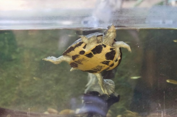 Swimming Indian turtle