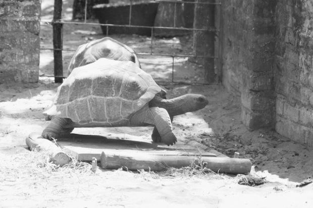 Turtle in a crocodile park in India
