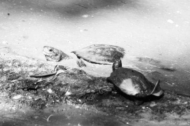 Turtles in a crocodile park in Tamil Nadu