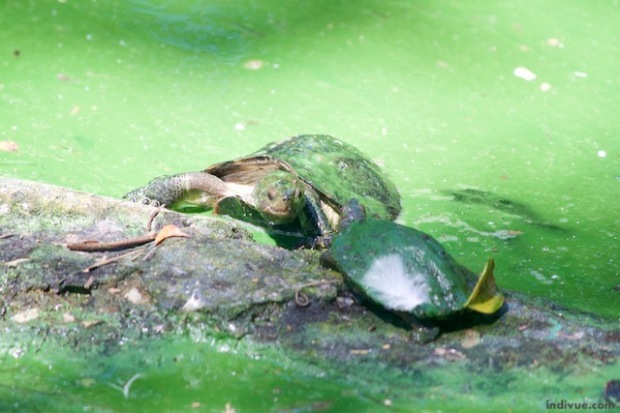 Turtles in an Indian zoo