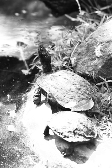 Turtles in India