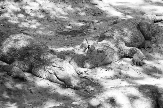 Two crocodiles resting